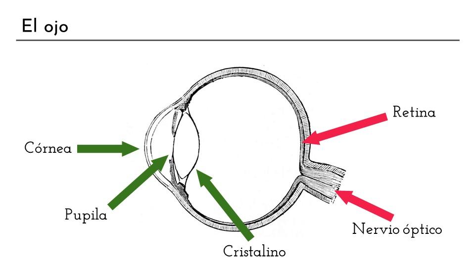 Diapositiva con el esquema de un ojo. Diferenciamos dos partes, la óptica (córnea, pupila y cristalino) de la sensorial (retina y nervio óptico)